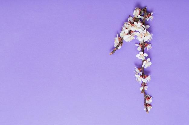 Flores de cerejeira em fundo de papel violeta