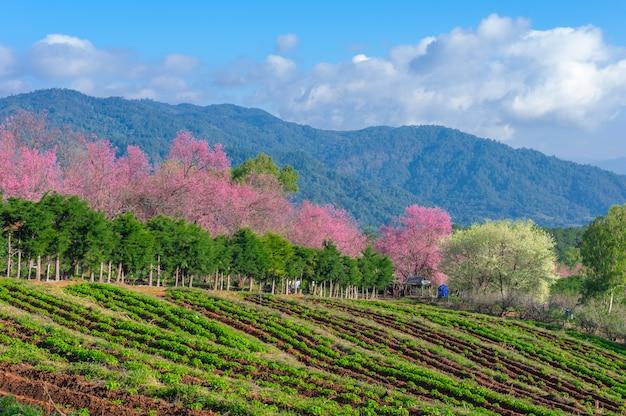 Flores de cerejeira em plena floração