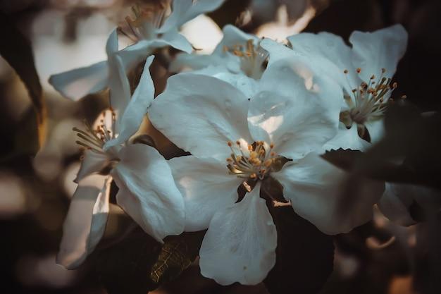 Flores de cerejeira em um fundo desfocado com bokeh closeup, foco seletivo. pode desabrochar.