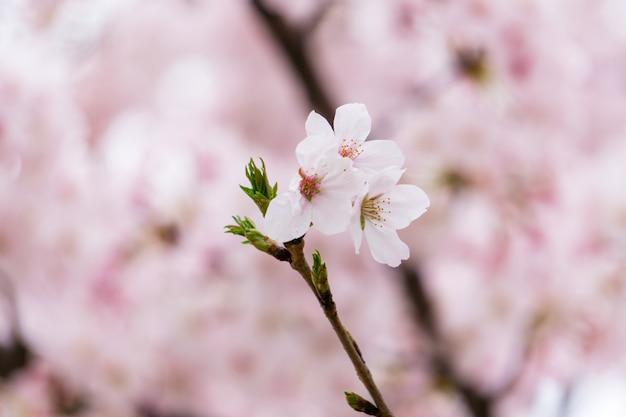 Flores de cerejeira em um galho