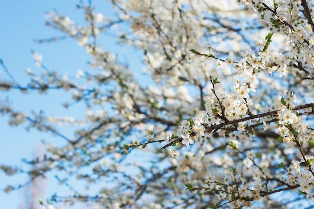 Flores de cerejeira em um parque da cidade