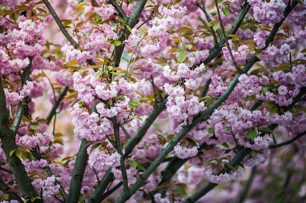 Flores de cerejeira em uma árvore