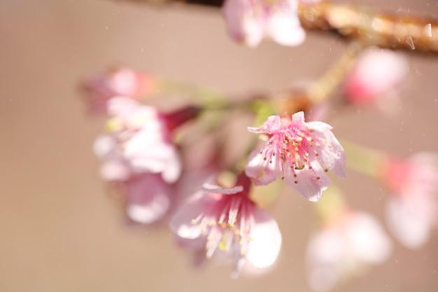 Flores de cerejeira, flor de sakura em close-up