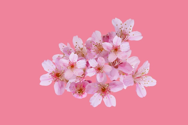 Flores de cerejeira, flores de sakura isoladas em fundo rosa - traçados de recorte.