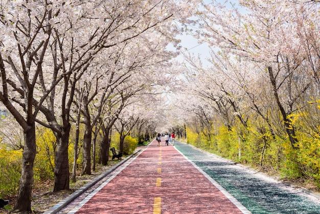 Flores de cerejeira florescem em ambos os lados da estrada na primavera.