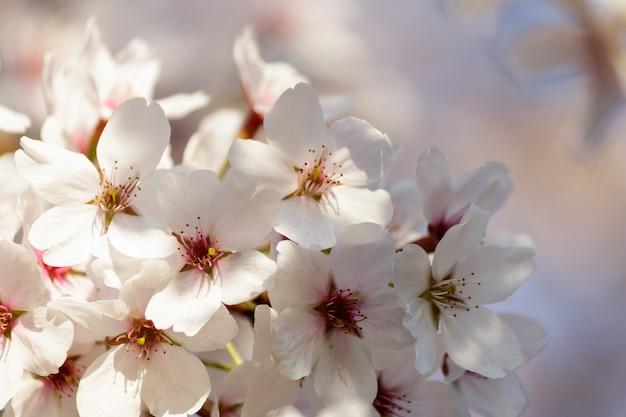 Flores de cerejeira florescendo em uma árvore