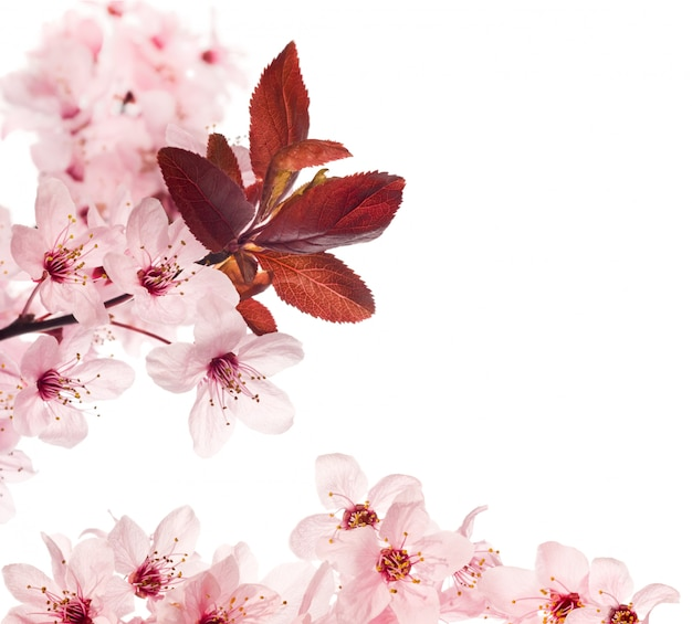 Flores de cerejeira isoladas no branco