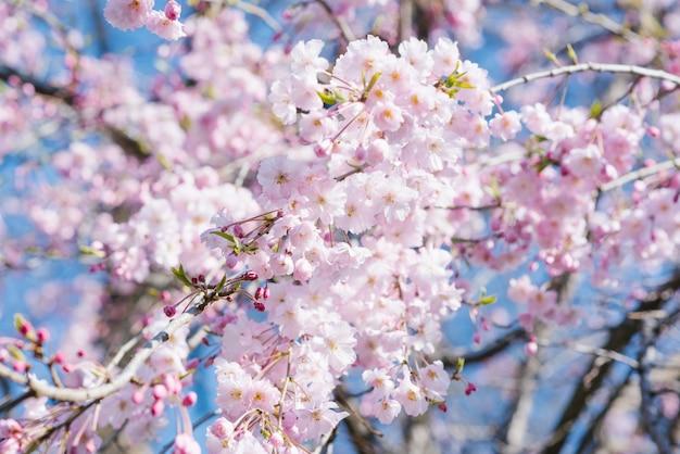 Flores de cerejeira japonesas rosa