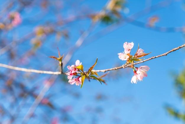 Flores de cerejeira na árvore