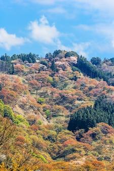 Flores de cerejeira na paisagem da mola de yoshinoyama, nara, japão.