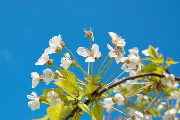 Flores de cerejeira na primavera branca com céu azul