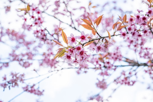 Flores de cerejeira na tailândia