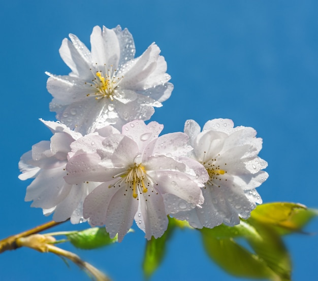 Flores de cerejeira no céu azul