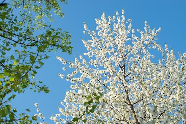 Flores de cerejeira no fundo do céu azul