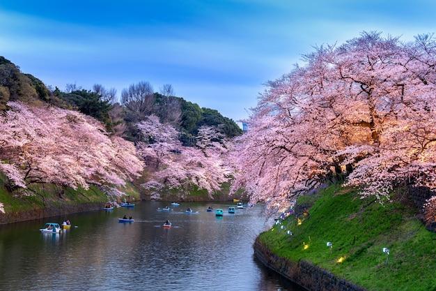 Flores de cerejeira no parque chidorigafuchi em tóquio, japão.