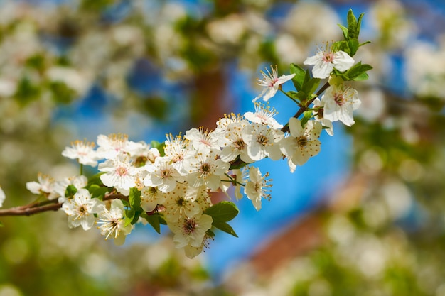 Flores de cerejeira no parque