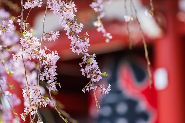 Flores de cerejeira no templo de sensoji, tóquio, japão