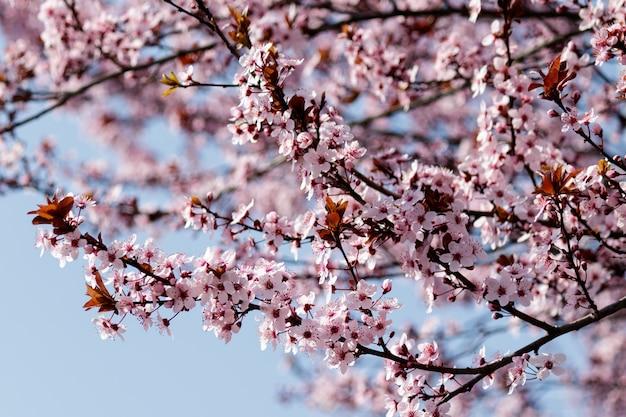 Flores de cerejeira rosa desabrochando em uma árvore com manchas na primavera