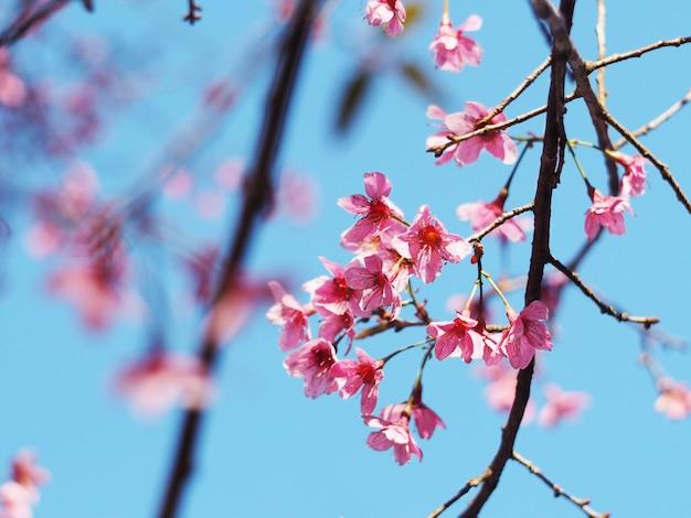 Flores de cerejeira rosa flor em plena floração