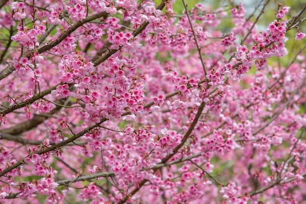 Flores de cerejeira rosa florescem na primavera.