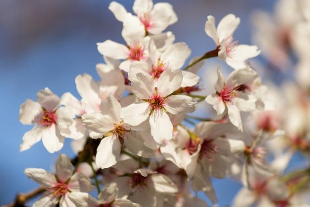 Flores de cerejeira rosa florescendo em uma árvore com fundo desfocado na primavera