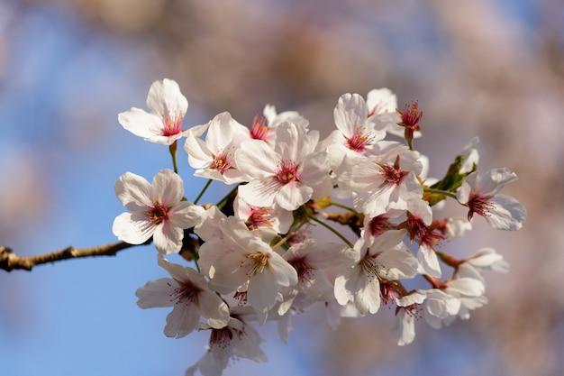 Flores de cerejeira rosa florescendo em uma árvore