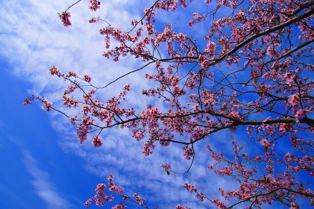 Flores de cerejeira rosa no fundo do céu azul