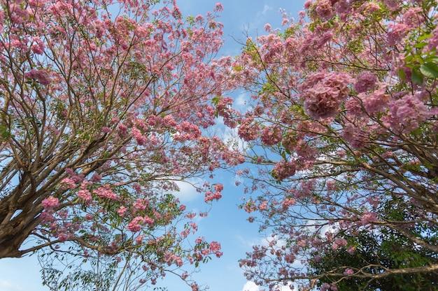 Flores de cerejeira rosa trompete florescendo árvore
