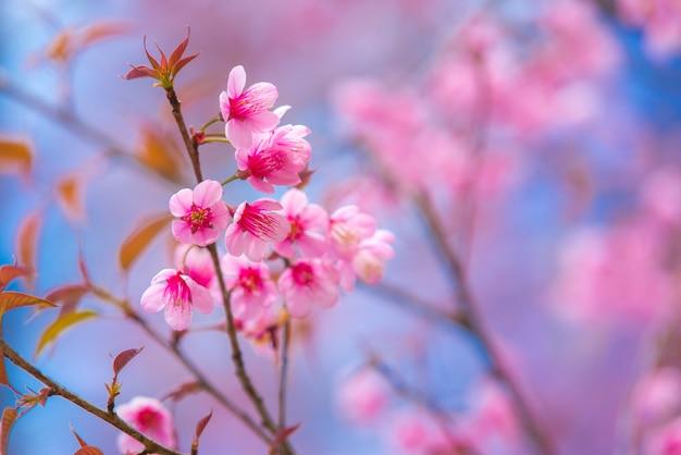 Flores de cerejeira rosa