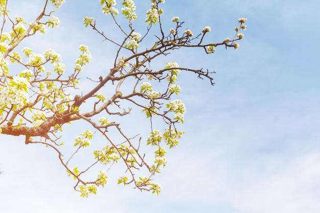 Flores de cerejeira sobre a natureza turva