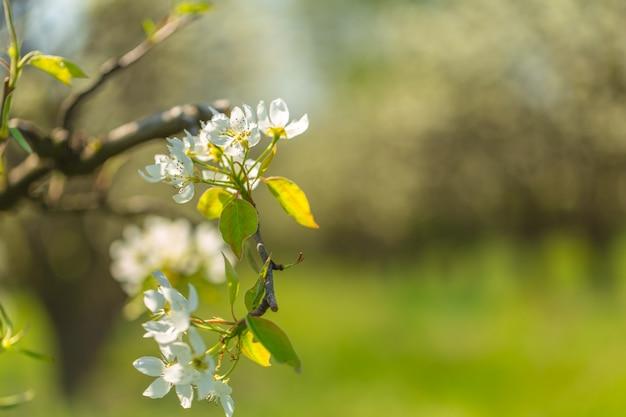 Flores de cerejeira sobre fundo borrado da natureza