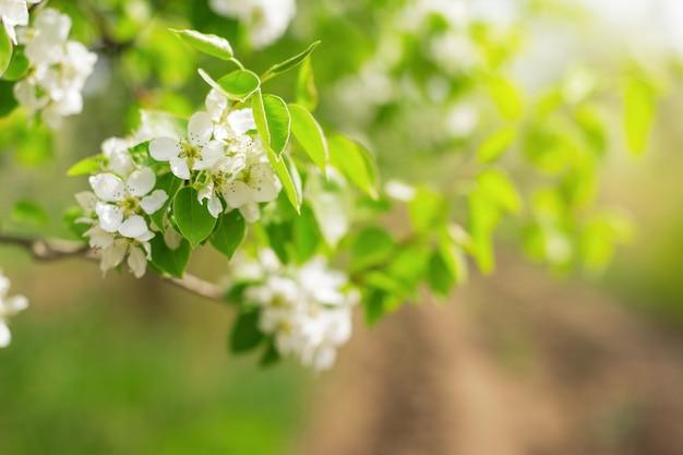 Flores de cerejeira sobre fundo de natureza turva