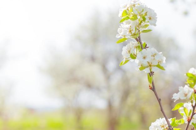 Flores de cerejeira sobre natureza turva