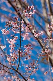 Flores de cerejeira tailandesas ou fundo do céu com flores phaya sua krong