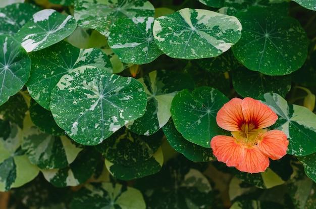 Flores de chagas de cor laranja (chagas de jardim, agrião indiano ou agrião de monges) com suas árvores e folhas.