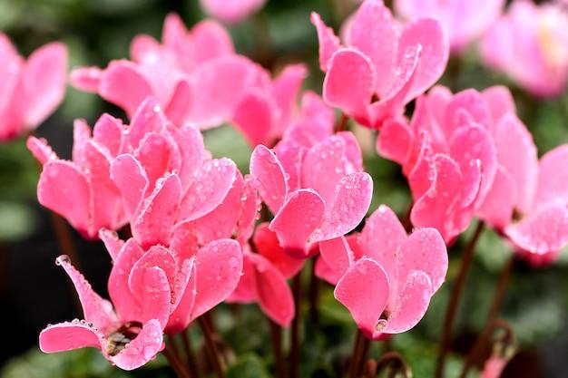 Flores de ciclâmen rosa coloridas