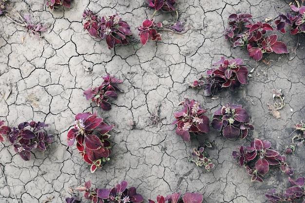 Flores de coleus blumei em terreno rachado ao ar livre em camada plana