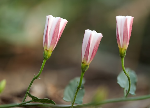 Flores de convolvulus arvensis trepadeira fechada