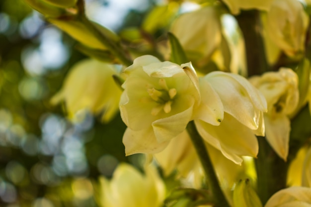 Flores de cor creme no caule da flor, flores brancas cremosas no ramo florido com céu azul claro, flores amareladas no caule da flor no jardim