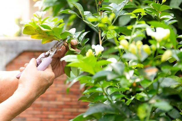 Flores de corte superiores da mão da mulher usando a tesoura de podar manual no jardim.
