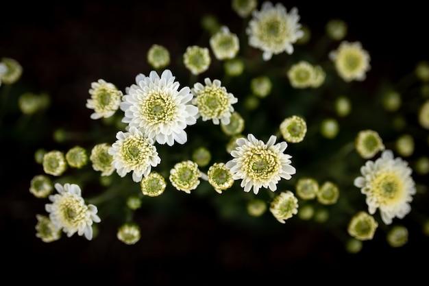 Flores de crisântemo branco florescem no jardim. flores naturais