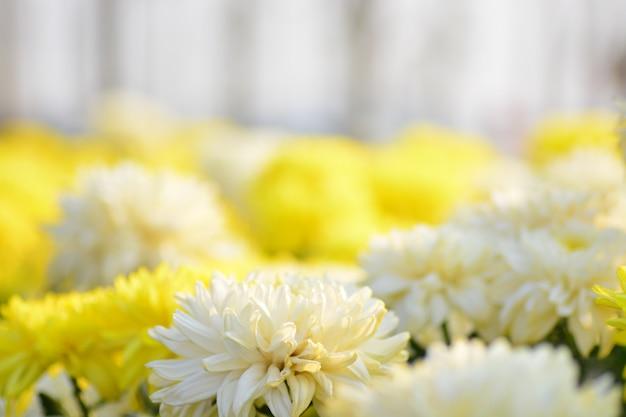 Flores de crisântemo com fundo desfocado