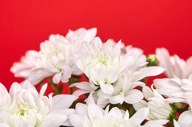 Flores de crisântemo com pétalas brancas. planta de crisântemo, buquê, planta de casa em fundo vermelho, foco seletivo