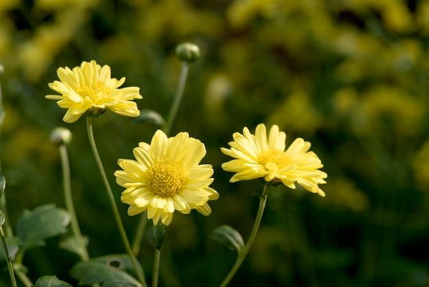 Flores de crisântemo desabrochando