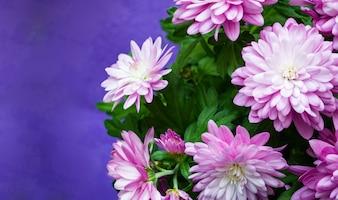 Flores de crisântemo em fundo violeta