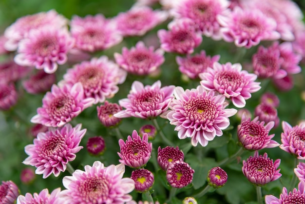 Flores de crisântemo em um jardim