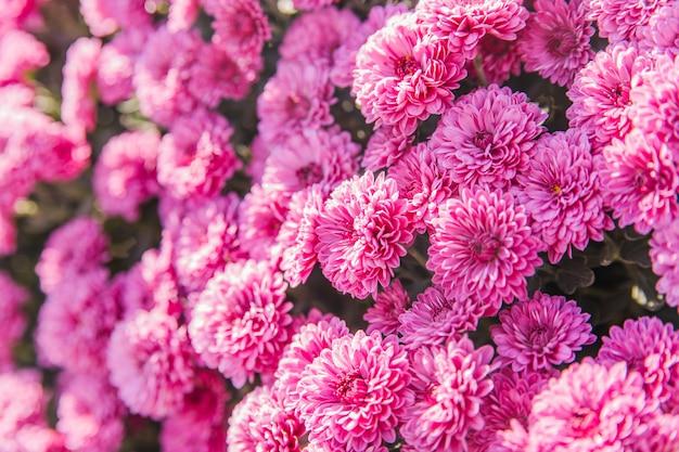 Flores de crisântemo florescendo no jardim. beleza das flores de outono.