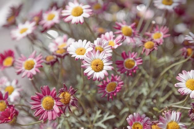 Flores de crisântemo. fundo floral natural. foco suave.