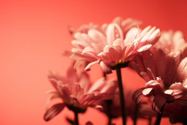 Flores de crisântemo rosa close-up imagem