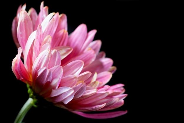 Flores de crisântemo rosa escuro com centros amarelos e pontas brancas nas pétalas em um fundo preto.